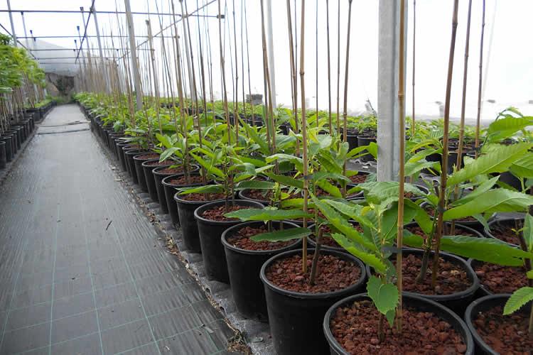 Piante di castagno vendita k 246 sti marroni castagne for Piante di cedro vendita